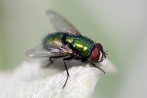 vliegen bestrijden