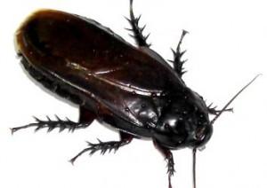 kakkerlak bestrijden